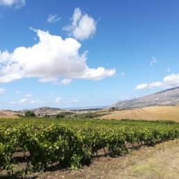 Weinströcke von NOUS in Sizilien